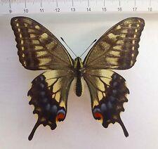 Papilio Hippocrates f ex japón, estirado ejemplar, aberation!!! n565