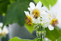 * Die Zimmerlinde, eine Zimmerpflanze von großer Beliebtheit, blüht sehr schön.