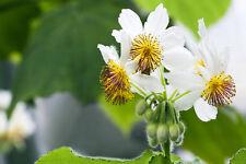 HIT exotisch Garten Pflanze Samen Sämereien Exot ZIMMERLINDE Wintergarten