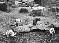 """Les Chats de Rome"""" © D.HAUSWALD circa 1960"""