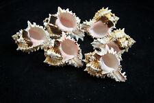 6 Beautiful Pink Murex Regius Sea Shell Seashell 3 To 4 Inches Hermit Crab