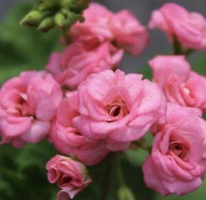 """Pelargonie/Geranien """"Antigue Rose"""" bewurzelte Steckling🎋"""
