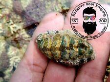 5 Pack Fuzzy Chiton Green Hair Algae Eater Saltwater Marine Invertebrate