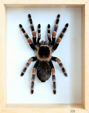 Unique Real Tarantula (Mexican Red Knee) Taxidermy - Mounted,Framed