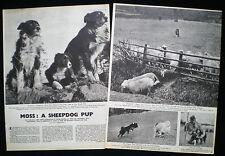 MOSS THE BORDER COLLIE SHEEPDOG LLANGEDWYN FARM POWYS WALES PHOTO ARTICLE 1946
