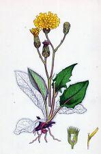 Antique Botanical print Hieracium caesium hawkweed 1899 stampa antica botanica