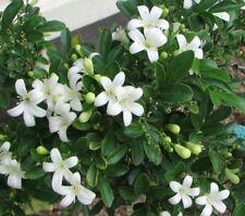 5 Mock Orange Jasmine Seeds Rare Tropical Fragrant Flower Perennial Bloom Tree