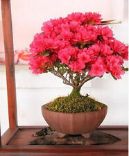 Bonsai potted plant red crape myrtle tree seeds flower seed flowers for home