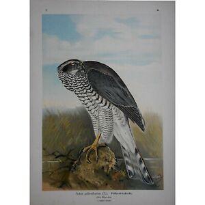 "Authentic Antique Lithograph-Birds Of Prey-German-1896-11""x15"""