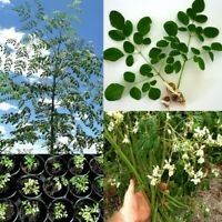 Moringa Oleifera Seeds 50 seeds high and quick germination 3 days PlantsDescrip