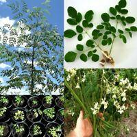 Moringa Oleifera Seeds 50 seeds high and quick germination 3 daysPlantsDescrip