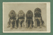 C1910'S RP PC - THE COURT OF APPEAL - FOUR BLOODHOUND PUPPIES