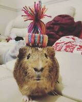 Tiny wool hats for guinea pigs