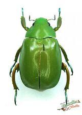 Shining scarab beetle Chrysina triumphalis SET x1 M A1 1x FM A1- rutelidae RARE