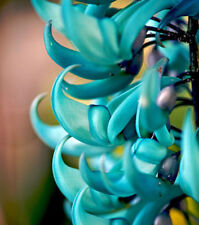 5 seeds Heirloom Jade Vine Strongylodon Macrobotrys Flower Blue Fragrant Garden