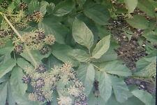 10 Samen Indianische Narde,Aralia racemosa#601
