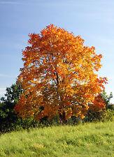 ARBOL AMARILLO  ( Acer Platanoides) 40 semillas / seeds