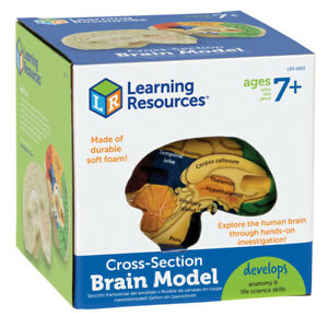 Learning Resources - Human Brain Crosssection Model