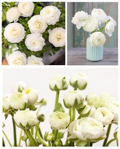 20 Ranunculus Asiaticus WHITE Summer Flowering Bulbs Garden Perennial Plant Corm