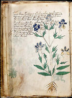 """Voynich Manuscript Mysterious Ancient Flower/Plant Book -17""""x22"""" Art Print-00193"""