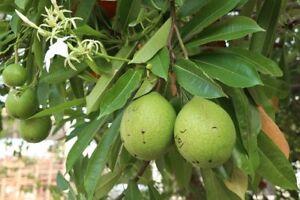 Die Früchte des Kalebassenbaum´s haben harte, wasserdichte Schalen.