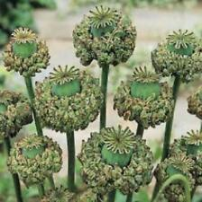 Poppy Hen & Chicks 250 Seeds Flower Somniferum Free Ship!