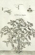 Noli-me-tangere Balzamine Balsamo giallo Botanica Geoffroy Garsault XVIII