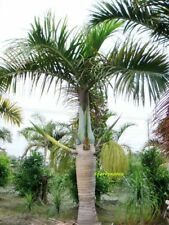 "50 Graines palmier bouteille"" Hyophorbe verschaffeltii ""Spindle palm seeds"