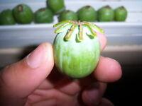 Papaver Somniferum Poppy Seeds - Giganteum Poppies- 100% Organic - 50+ Seeds