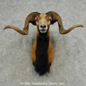 #16870 E+ | Corsican Ram Taxidermy Shoulder Mount For Sale