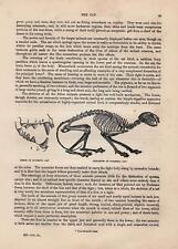 Hauskatze Skelett und Gebiss HOLZSTICH von 1866 SKELETON DOMESTIC CAT