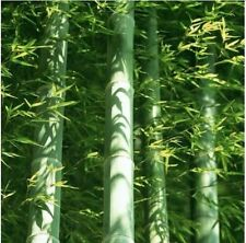100 x MOSO BAMBOU HARDY & rare Graines -4 Giant Plant Phyllostachys edulis Outdoor