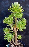 Tree Green Aeonium Succulent 50 Cuttings FRESH CUT & HEALTHY