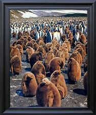 King Penguins Colony Wildlife Wall Black Framed Picture Art Print (19x23)