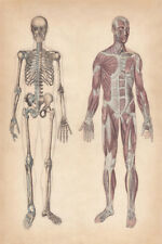 Human Skeleton and Muscles Hand 1861 VintageArt Print Poster 12x18