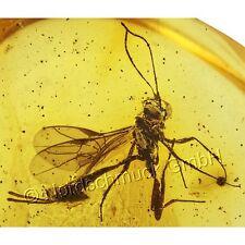 Bernstein Inkluse Inklusen Einschluss Insekt Schlupfwespe ♀ Ichneumonidae IN198
