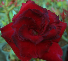 Adenium Obesum Desert Rose - CX Aungpou - Perennial Bonsai Seeds (5)