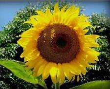 SUNFLOWER, MAMMOTH RUSSIAN, 100 SEEDS ORGANIC NEWLY HARVESTED, 7-10 Foot Tall