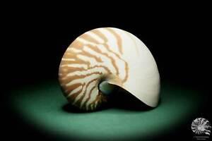 Nautilus pompilius Philippinen Perlboot conch Kopffüßer Präparat taxidermy Deko