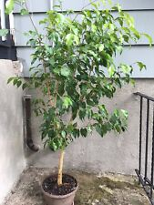 Weeping Fig Tree - Ficus Benjamina growing House plant - Easy to Grow