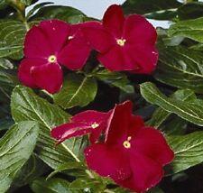 40+ Vinca Dark Red Periwinkle Flower Seeds / Annual