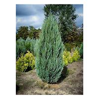 """Sky Rocket Juniper - Healthy - Established - 3.5"""" Potted - Evergreen - 3 Plant"""