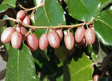 EVERGREEN SILVERBERRY Elaeagnus x ebbingei shrub plant, fragrant, edible fruit