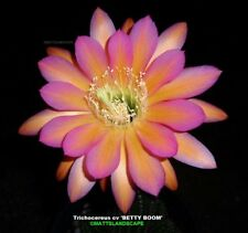 Trichocereus,hybrid, 'BETTY BOOM' ,Small,Plant,well rooted,No,Echinopsis,Lobivia