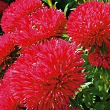 Chinese Aster Red King Size seeds 0,2g Ukrainian Seeds Астра Кинг Сайз S1062