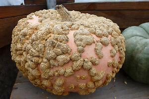Pumpkin GALEUX D'EYSINES-Pumpkin Seeds-YUMMY FRENCH CLASSIC-1 SEED