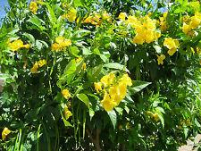 trumpet, or HUMMINGBIRD VINE, yellow FLOWER, 10 seeds! GroCo