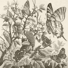 LEPIDOPTERA. Tropical butterflies 1896 old antique vintage print picture