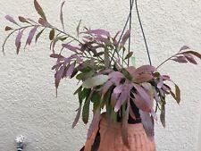 Rhipsalis Ramulosa —- Starter Plant