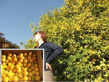 Orangenbaum Sichtschutz für den Balkon Garten die Terrasse winterhart Duftbäume